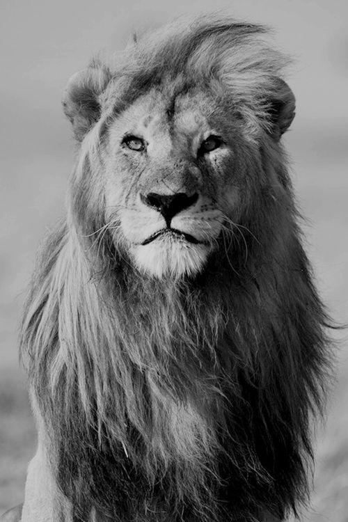 狮子黑白优秀摄影作品图片