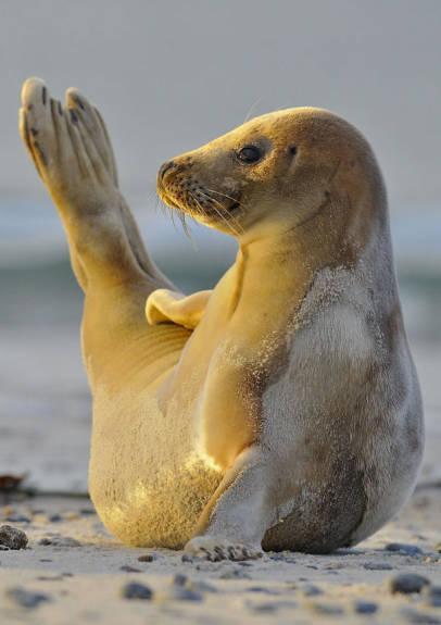 """动物界也有""""瑜伽高手"""""""