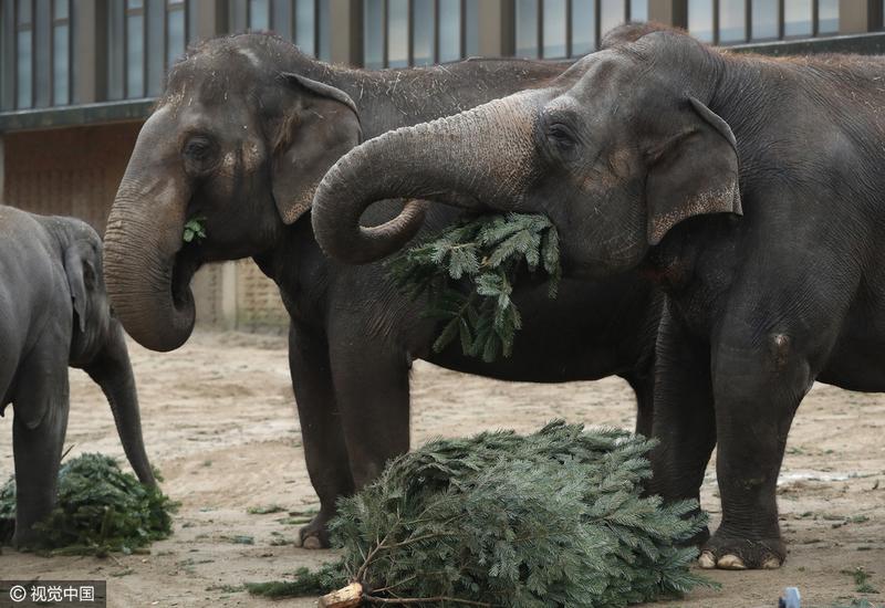 """德动物园大象节后享用""""圣诞树""""大餐"""