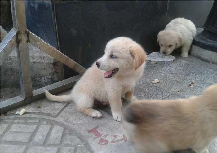"""中国最珍贵的物种资源之一——""""草狗""""中华田园犬"""