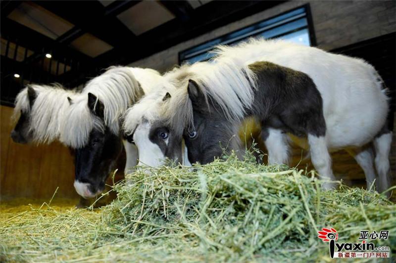 澳大利亚矮马宝宝诞下小马驹