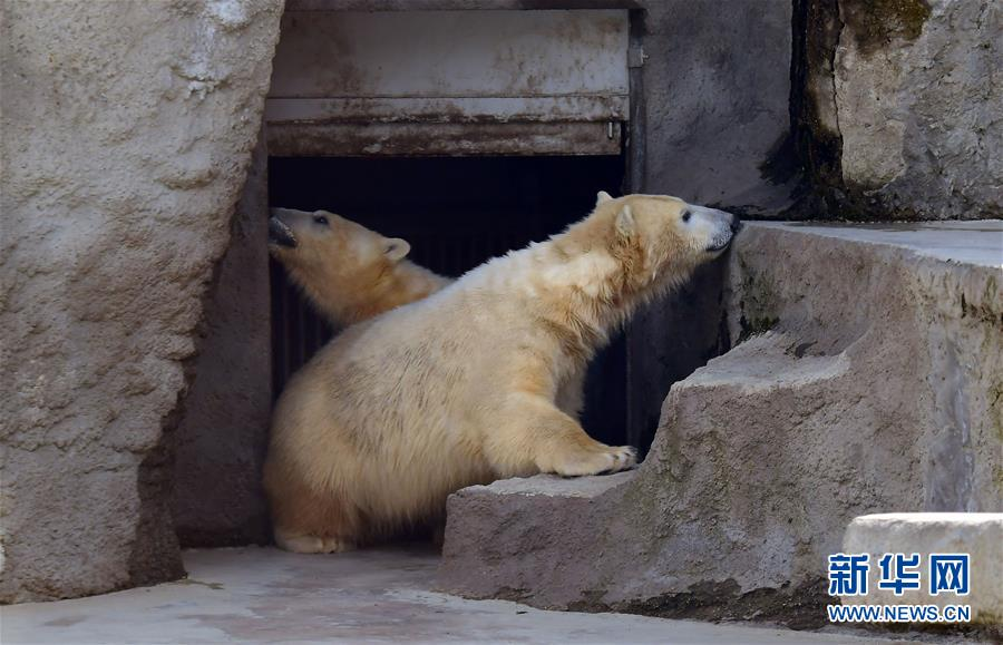 布达佩斯动物园迎来北极熊兄弟