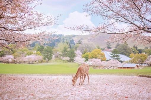 日本奈良旅游风景摄影图片:樱花盛开的时候