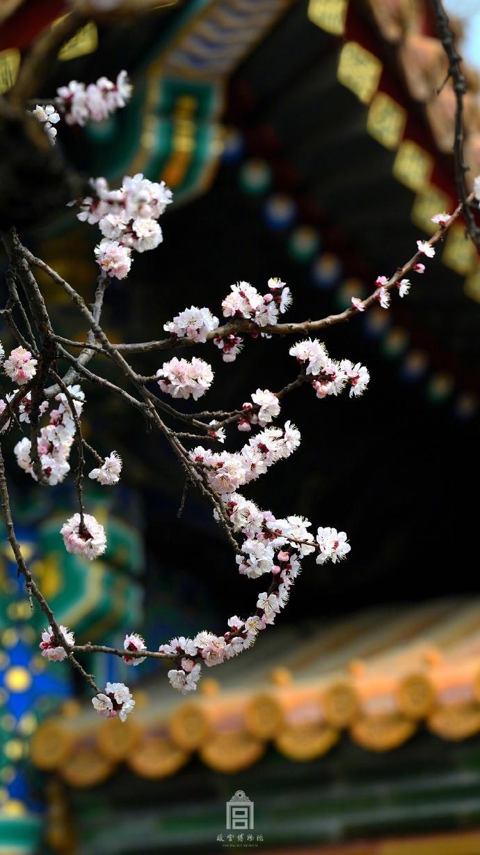 故宫杏花绽放唯美风景摄影图片