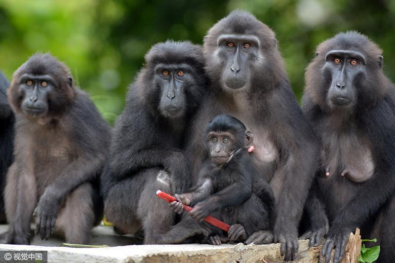 印尼黑猩猩濒危 小猩猩手拿牙刷呆萌