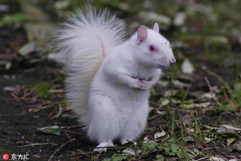 摄影师拍罕见白化松鼠 呆萌又可爱
