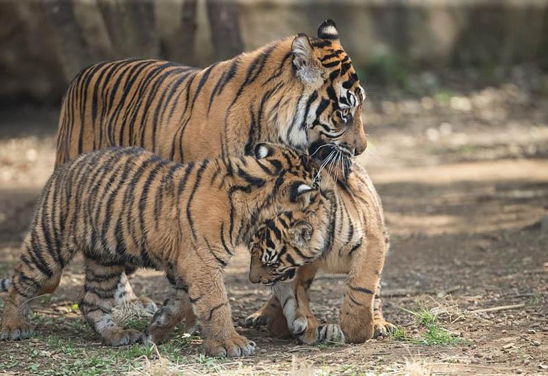 可爱!日动物园虎妈暴力劝架小虎崽