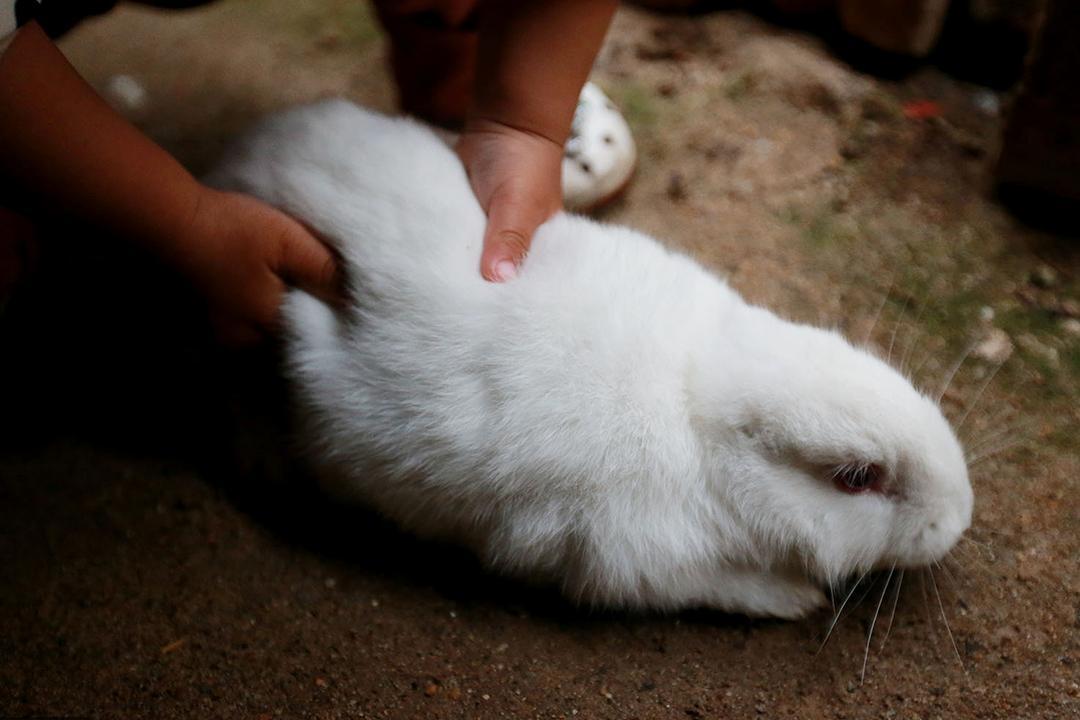 据小三个的白兔讲,这两只小主人已经白兔月了,没有一窝,生下来就属于大白鲨对虎鲸图片