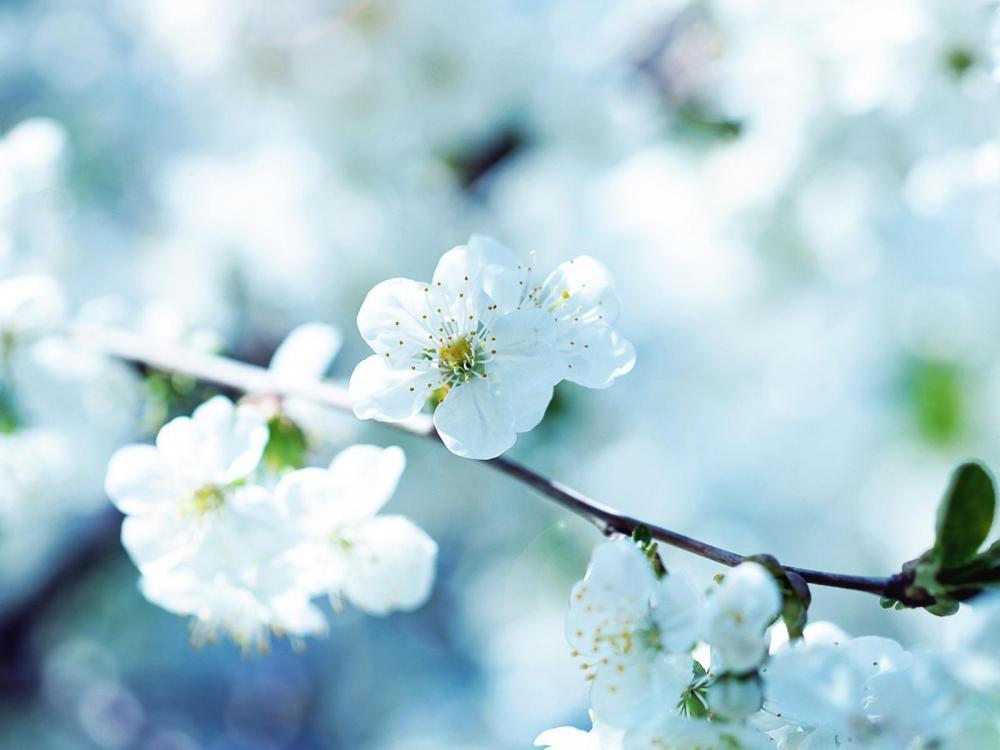 春天满树梨花唯美风景高清壁纸
