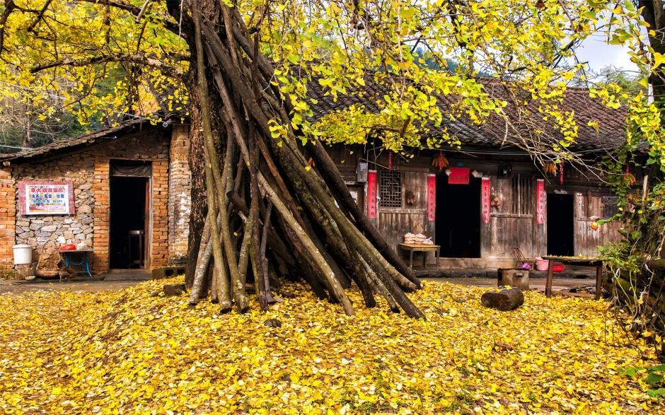 广西桂林海洋银杏林风景桌面壁纸下载