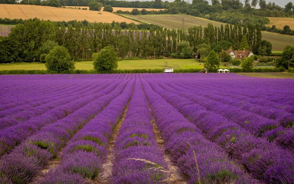 高清紫色薰衣草风景壁纸