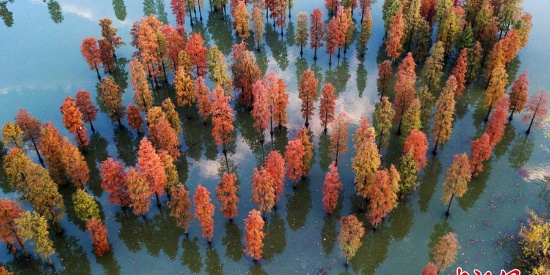 航拍南京郊外千亩水杉林 展绝美画卷