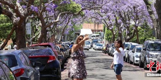 悉尼蓝花楹盛放 游人享春光