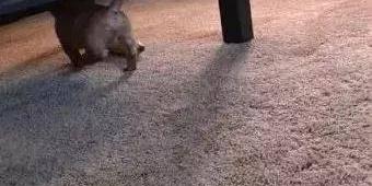 小奶狗趁主人不注意偷香蕉吃!被发现了还这么会装