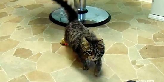 加拿大一只残疾猫咪通过3D打印假肢实现首次奔跑