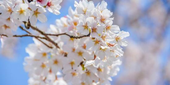 唯美绽放的樱花风景图片桌面壁纸