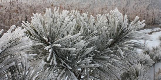 冬日树枝上的雾凇图片