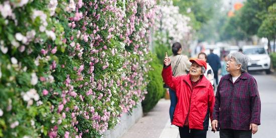 """西安最美""""网红墙""""蔷薇花开惹人醉 延绵约400米游人如织"""