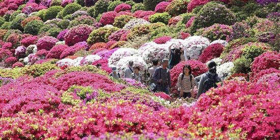 日本东京举办杜鹃花节 艳丽花海震撼了春日