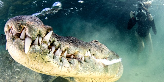 美国摄影师与巨口鳄鱼面对面 冒死拍獠牙特写