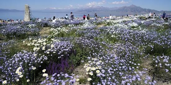 新疆博州赛里木湖夏季鲜花绽放引来众多游客