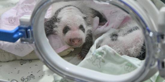 全球罕见 重庆两只大熊猫同日同地生产双胞胎