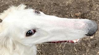 长得萌不如长得妙!美一猎犬凭31厘米长鼻子
