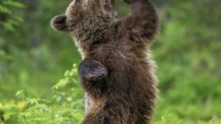 摄影师拍摄熊挠痒似跳舞 全身投入舞姿销魂