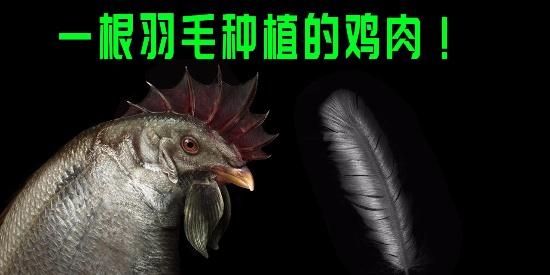 一根羽毛,种植的鸡肉!