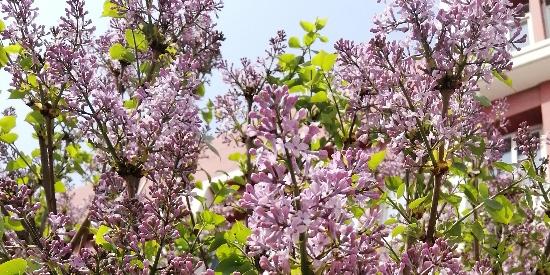 紫丁香花 白丁香花