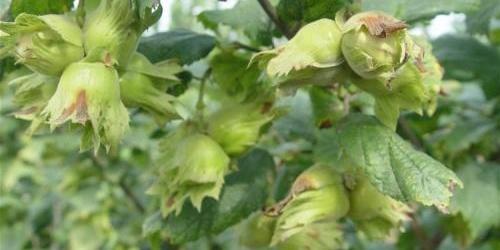 东北野生榛子和养殖榛子的区别