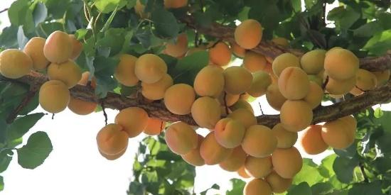 密集恐惧:看看枝头的杏子,才明白新疆为何称为瓜果之乡