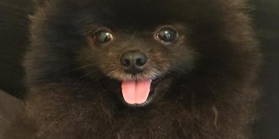 一只来自韩国名叫玉米的黑色小博美宠物狗狗