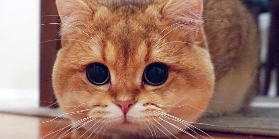 金色英国短毛猫圆滚滚的包子脸,滴溜溜的大眼睛超可爱萌图
